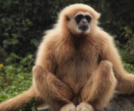 Gibbon à barbe blanche de Bornéo