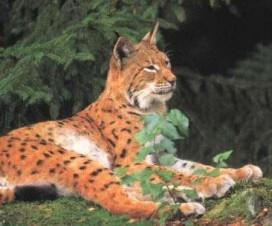 Lynx roux