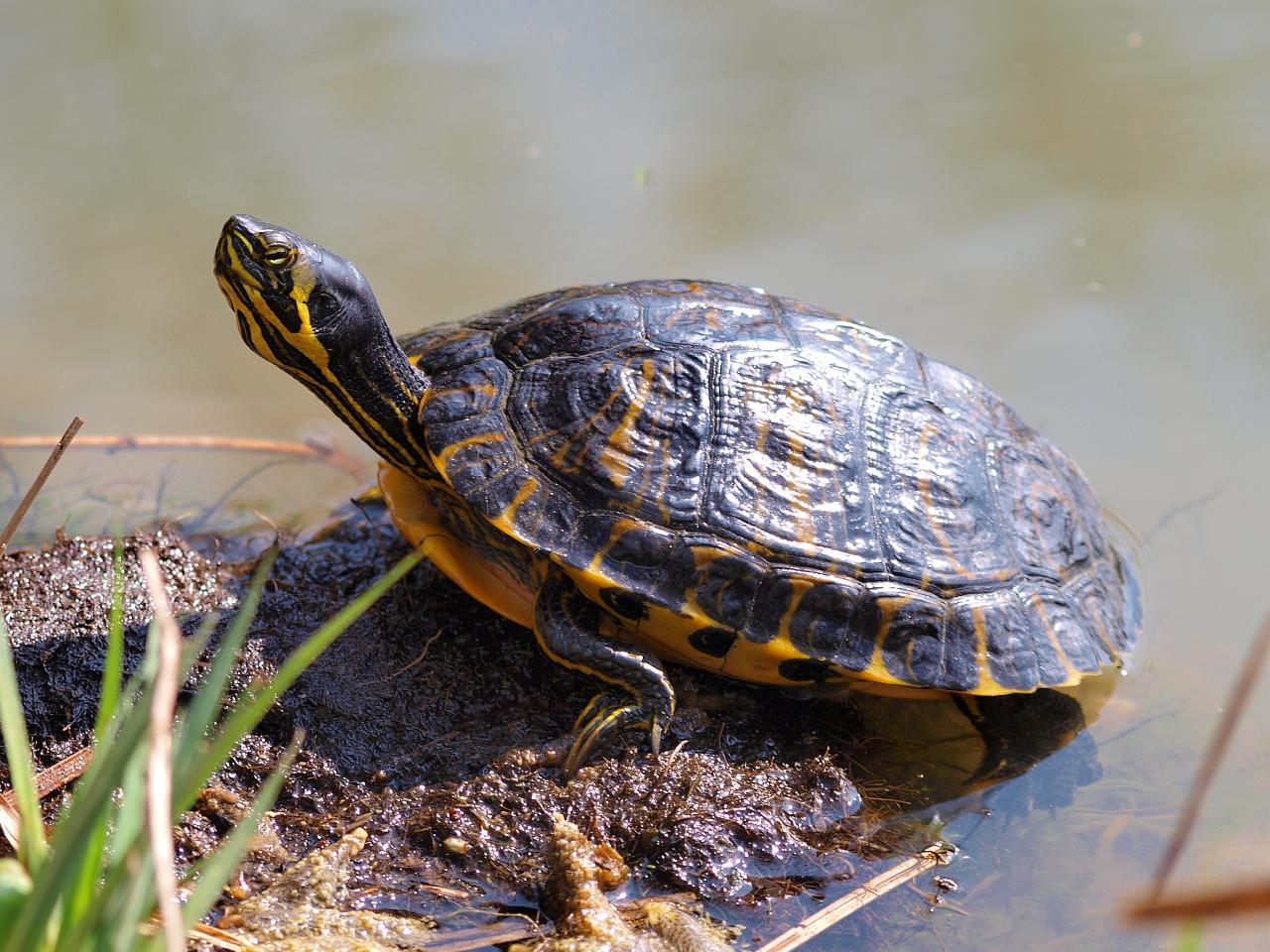 Tortue de floride for Bassin exterieur pour tortue de floride