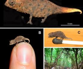 Caméléon nain de Madagascar