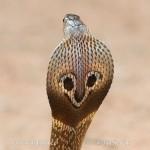 Cobra indien