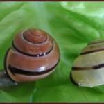 Escargot des haies