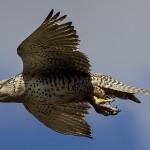 Faucon gerfaut