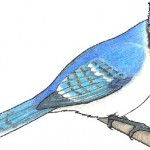 Geai bleu