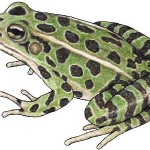 Grenouille-léopard