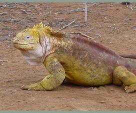 Iguane terrestre des Galapagos