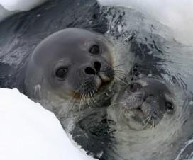 Phoque de Weddel