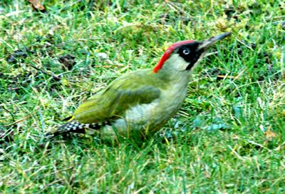 Pic vert for Oiseau vert et rouge