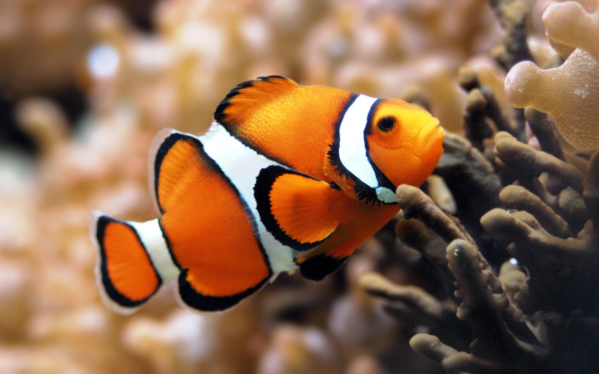 Poisson clown - Image poissons ...
