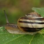 Escargot des jardins