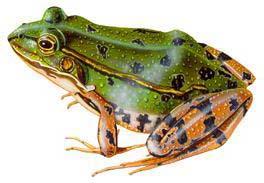 Grenouille 8 - Dessin de grenouille verte ...