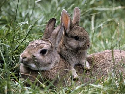 Lapin de garenne 3 - Cuisiner le lapin de garenne ...