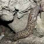 Limace léopard