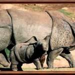 Rhinocéros indien