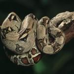 Boa constricteur