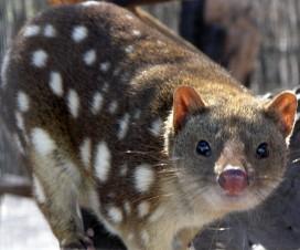Chat marsupial à queue tachetée