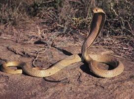 Cobra égyptien