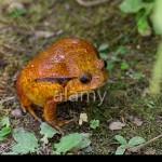 Crapaud rouge de Madagascar