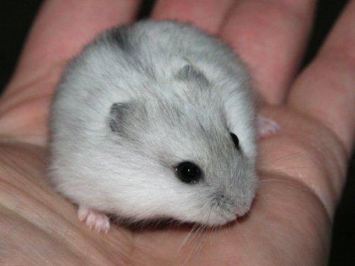 Hamster russe 9 - Hamster russe panda ...