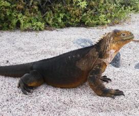 Iguane terrestre de Santa Fe