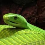 Mamba vert de Guinée