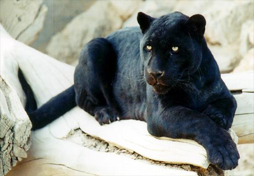 Panth re noire 7 - Chat type leopard ...