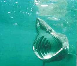 Requin à grande bouche