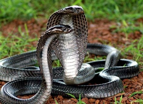 fotos serpientes cobra: