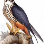 Faucon hoberau