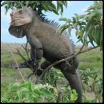 Iguane antillais