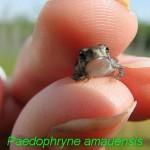 Paedophryne amauensis