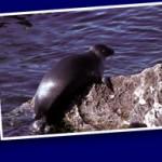 Phoque du Baïkal