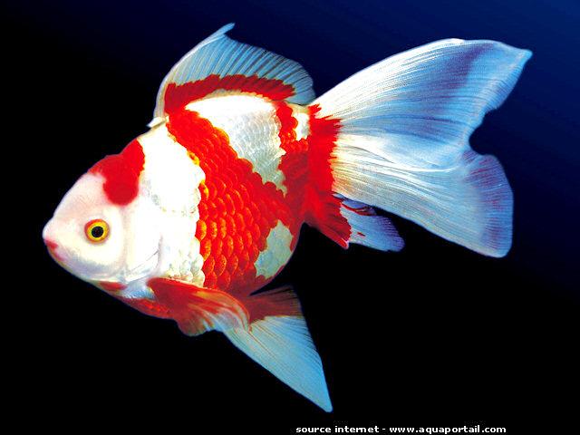 Poisson rouge 3 for Aquarium poisson rouge petit