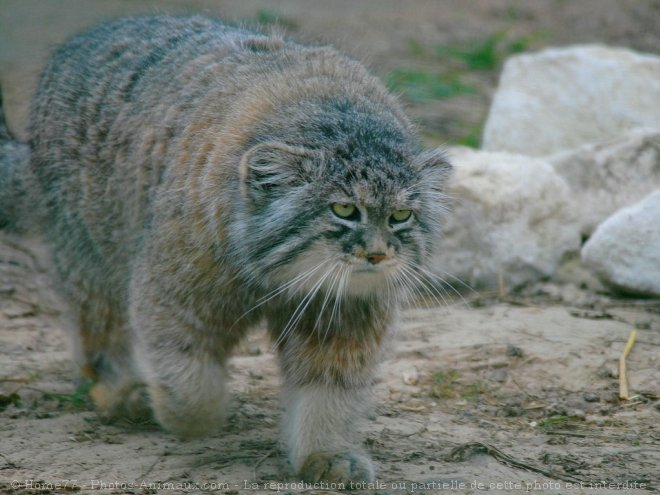Résultats de recherche d'images pour «chat de pallas»