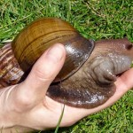 Escargot géant d'Afrique