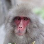 Macaque japonais