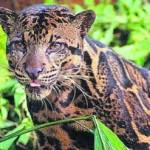 Panthère nébuleuse de Bornéo