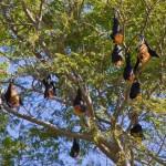 Roussette de Madagascar