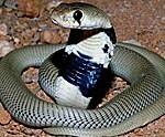Cobra cracheur