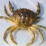 Crabe vert