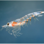 Krill antarctique