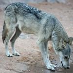 Loup d'Arabie