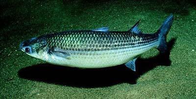 Mulet (poisson)