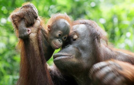 Orang-outan de Bornéo