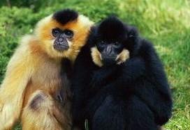 Gibbon à crête
