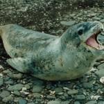 Léopard de mer