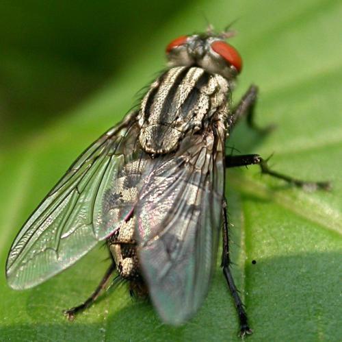 Mouche damier - Comment se debarrasser de mouches ...