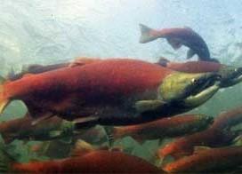 Saumon du Pacifique